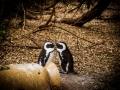 Toronto_actor_photographer_Cape Town_Boulders Beach_Cape Point_Chapman's Peak_Baboons_South Africa_Travel Photographer_Photography-8